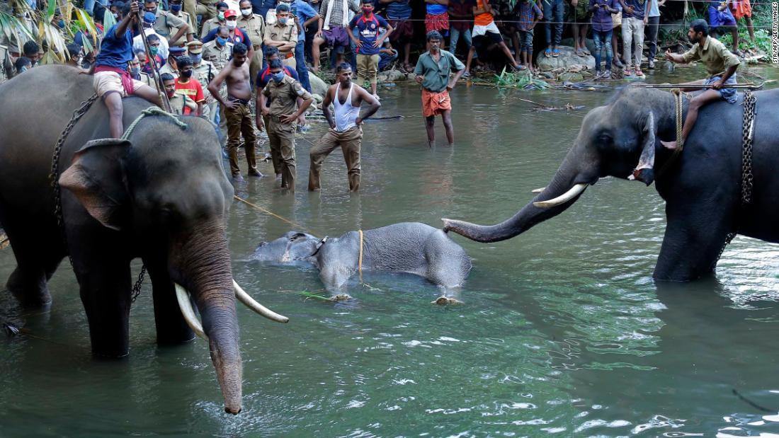 L'elefante nel Kerala muore dopo che sospetti petardi nascosti nella frutta sono esplosi nella sua bocca